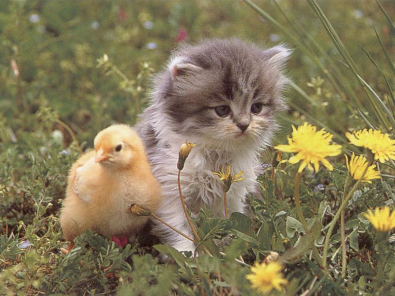 Gato y patito