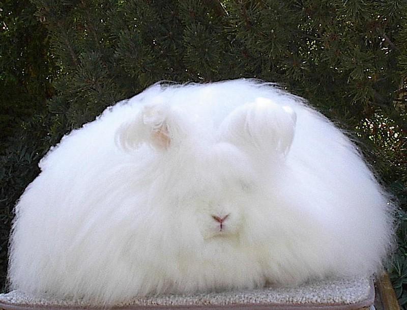 Conejo peludo