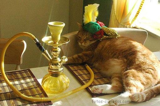 El verdadero gato persa