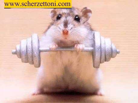 Hamster forzudo
