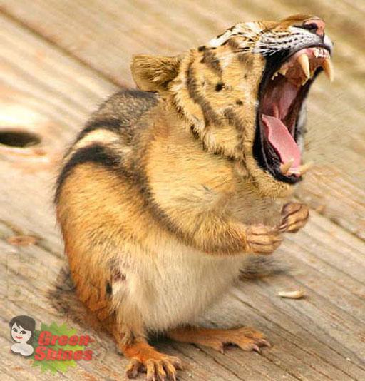 Ardilla tigre