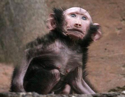 Mono joven