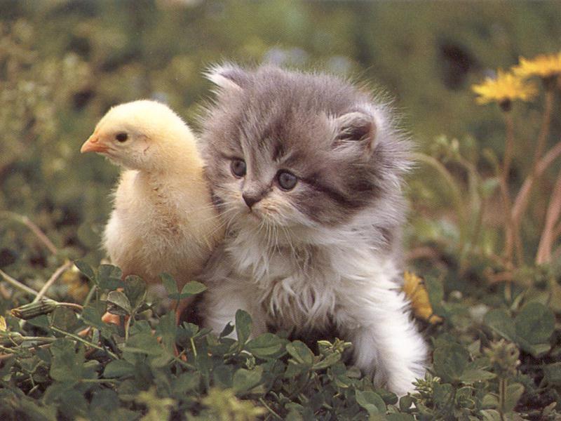 Patito y gato