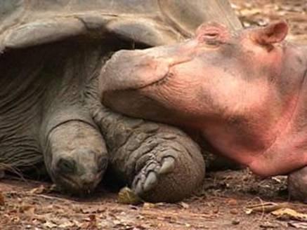 Tortuga e hipopotamo 3