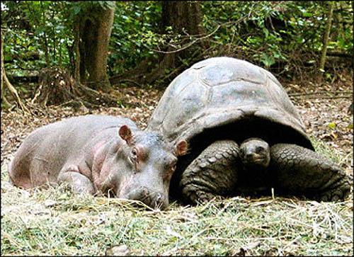 Tortuga e hipopotamo 4