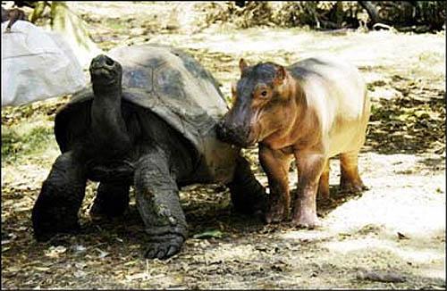 Tortuga e hipopotamo 5