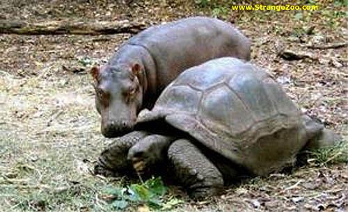 Tortuga e hipopotamo 6