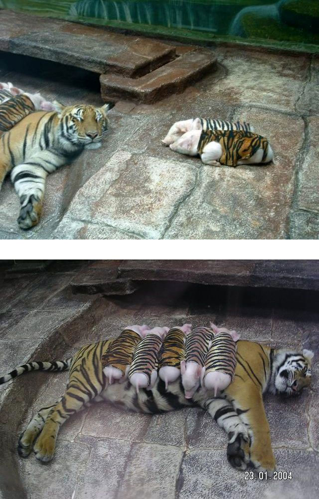 Tigre y cerditos