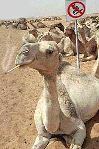 Camello fumador