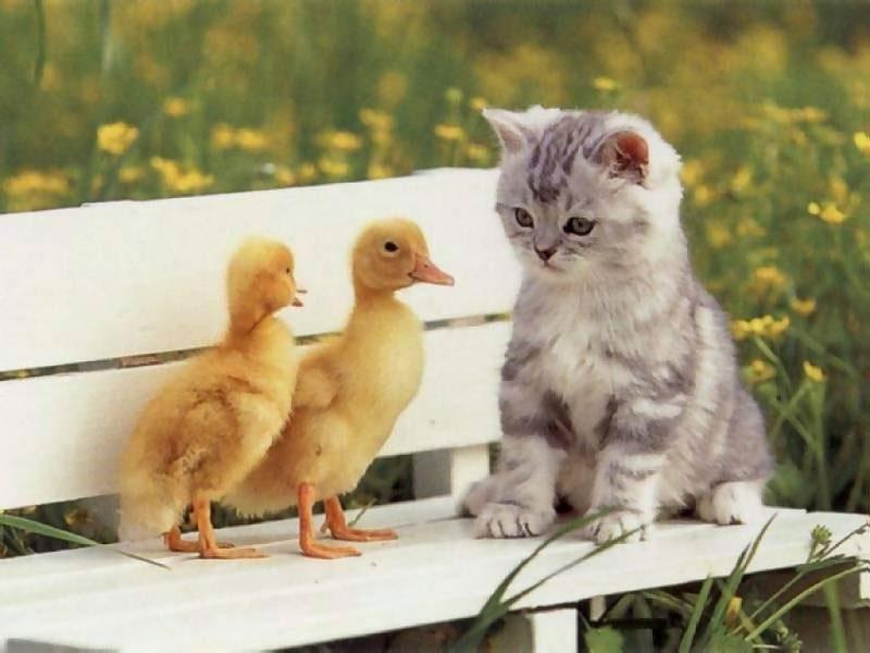 Gatito y patitos