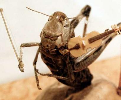Grillo violinista