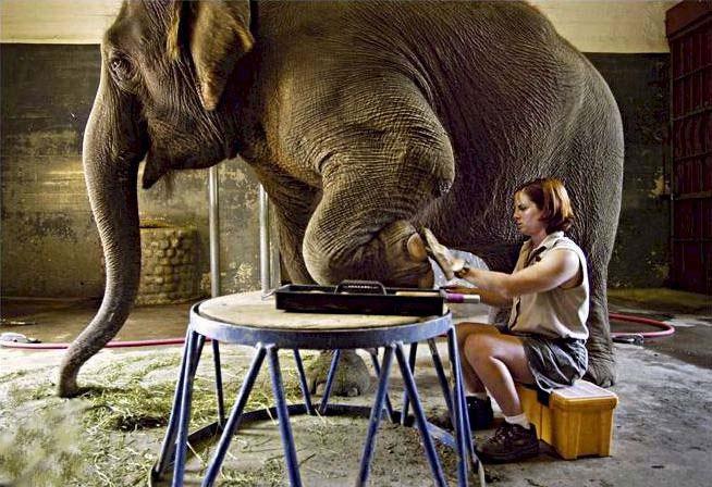La manicura del elefante
