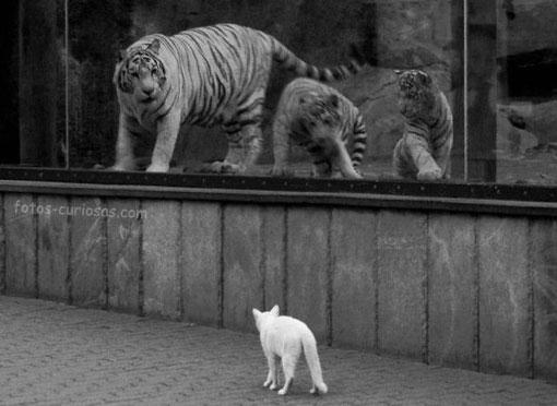 Tigres y gato