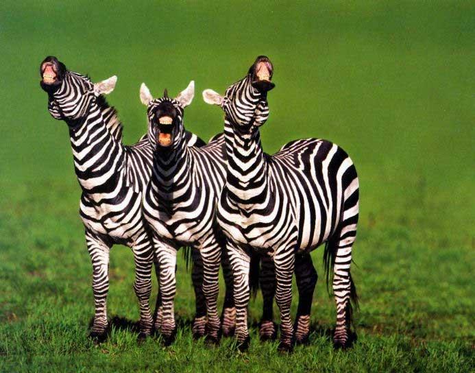 Tres cebras