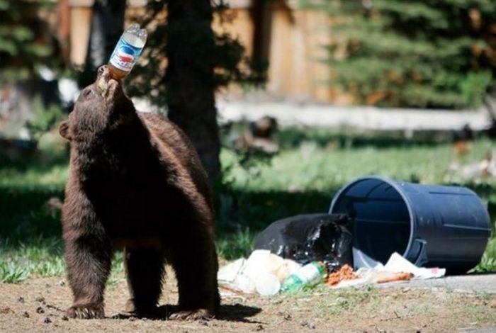 oso-bebiendo-pepsi