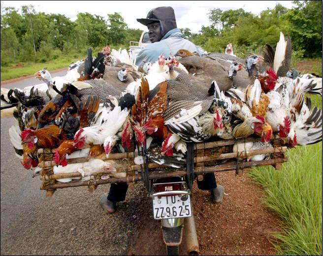 Repartidor de pollos